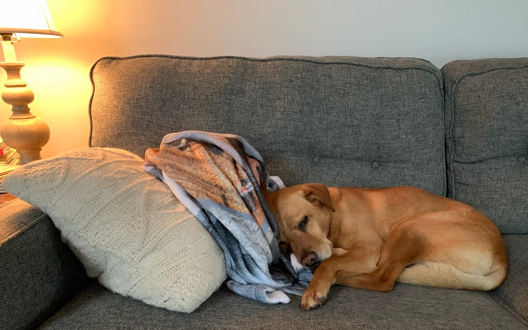 dog sleeping on sofa